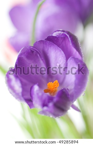 crocus bouquet isolated on white, shallow dof