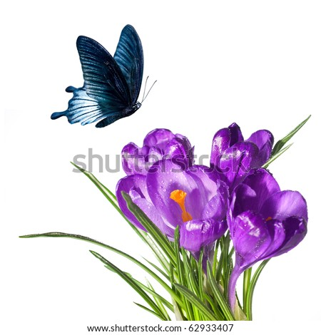 crocus bouquet with butterfly isolated on white