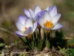 Crocus Chrysanthus Blue Pearl spring flower in a garden