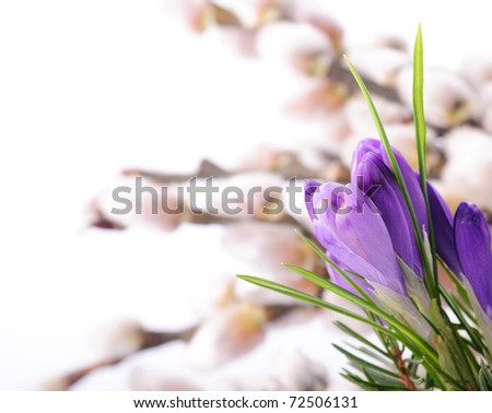 Crocus close up on pussy willow background. Spring concept - stock photo