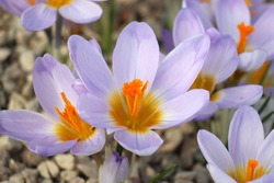 Crocus early bloomer in greenhouse