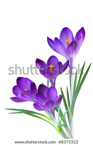 Crocus flower in the spring isolated on white