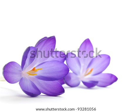 crocus flower over a white background - macro