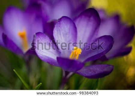 Crocus flower;Shallow depth of field