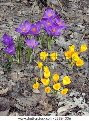 Crocus Flowers Growing Through Last Fall 39 S Dead Leaves