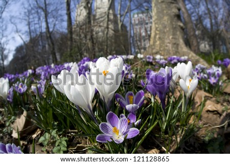 Crocus flowers in the early sping in Central Park, new York City