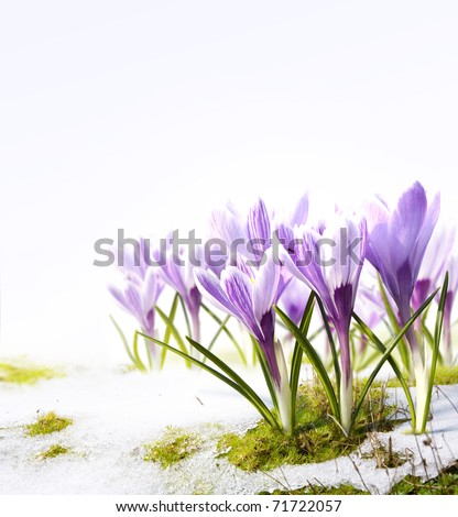 crocus flowers in the snow Thaw