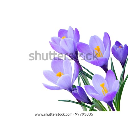 Crocus flowers in the spring