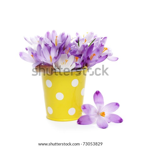 Crocus flowers in yellow bucket, isolated on white