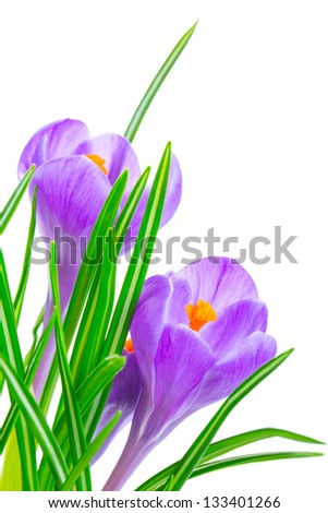 Crocus flowers isolated on white background in macro lens shot.