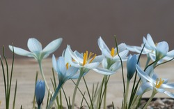 Crocus flowers light blue shaded