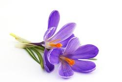 crocus - flowers of spring