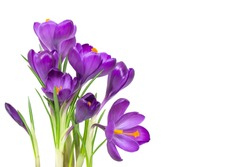 Crocus flowers on stem with leaves isolated on white background, spring season
