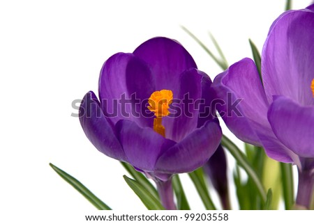 Crocus isolated on white - composition 1
