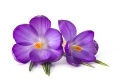 crocus on white background - fresh spring flowers