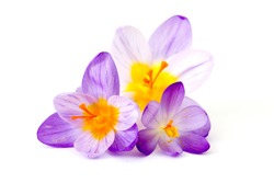 crocus - one of the first spring flowers