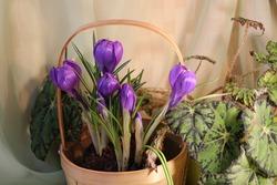 Crocus plant Rememberance with purple color flowers in the indoor garden