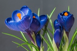 Crocus, plural crocuses or croci is a genus of flowering plants in the iris family. A single crocus, a bunch of crocuses, a meadow full of crocuses, close-up crocus. Crocus on a gray background.
