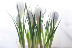 Crocus, plural crocuses or croci is a genus of flowering plants in the iris family. A single crocus, a bunch of crocuses, a meadow full of crocuses, close-up crocus. Crocus on white background.