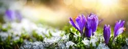Crocus spring flower Growth In The Snow. Beautiful Floral wide panorama. Purple Crocus Iridaceae