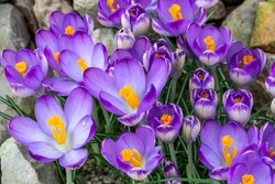 Crocus tommasiianus 'Pictus' a springtime flowering plant which has a purple flower during the spring season, stock photo image