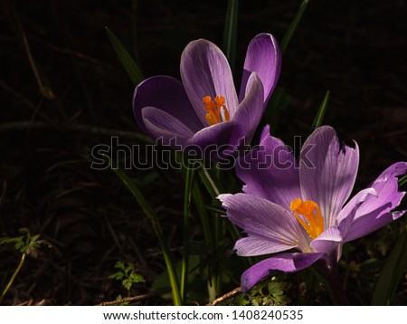 crocus with broken pettles in deep shadows in spring