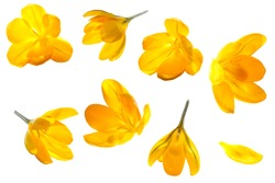 Crocus yellow flower isolated set on white background