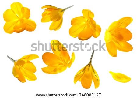 crocus yellow flower isolated...