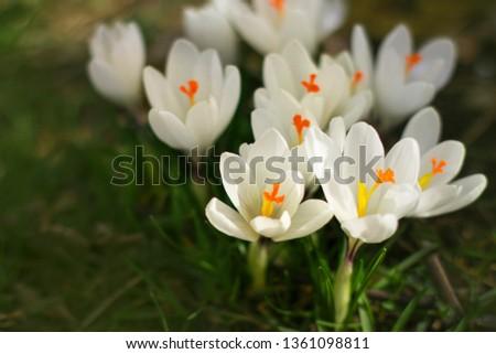 Crocuses are white. The first spring flowers. Crocus (saffron) is a perennial bulbous plant. C. sativus