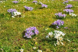 Crocuses as early bloomers on a meadow announce the beginning of spring.