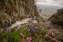 Crocuses blooming on the rocks of the rushing wild torrents of the upper fall of Boyana waterfall in Vitosha mountain.