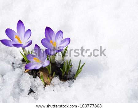 crocuses in snow