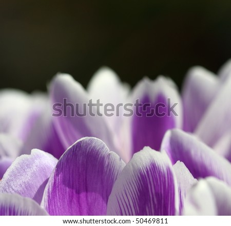 Crocuses in springtime with dark background concept of hope and renewal