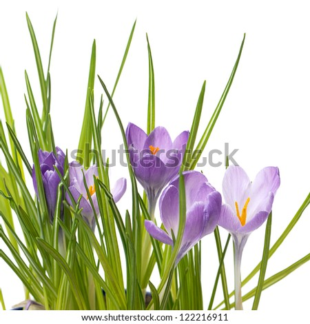 crocuses in white background