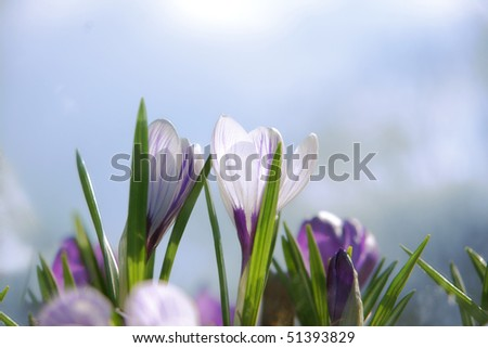 crocuses with sky background