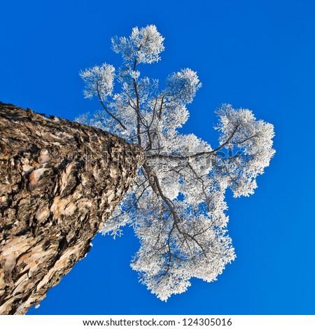 Crohn tree in hoarfrost on a background of blue sky