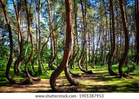 Crooked Forest (Krzywy Las),  Gryfino, West Pomerania, Poland Stockfoto ©
