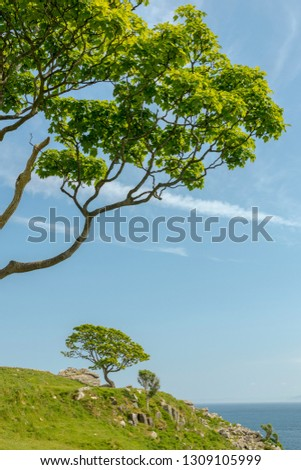 crooked Sycamore tree at rocky coastline under large green branch blue sky, Northern Ireland, copy space