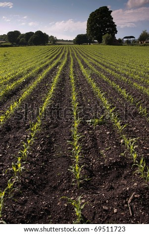 Crop field with corn seedlings in early spring