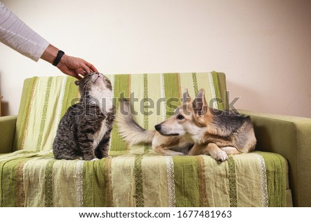 Crop man hand petting sleeping on bed cat and jealous dog sitting nearby and looking with interest in bedroom Stockfoto ©