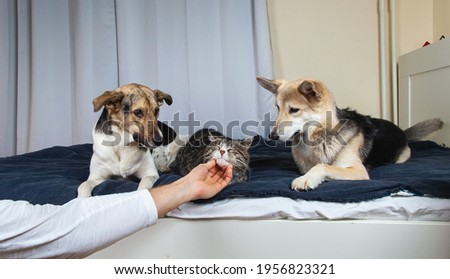 Crop man hand petting sleeping on bed cat and jealous dogs lying nearby and looking with interest in bedroom Stock photo ©