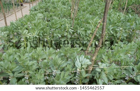 Crop of Different Varieties of Home Grown Organic Broad Bean Plants (Vicia faba) Growing on an Allotment in a Vegetable Garden in Rural Devon, England, UK