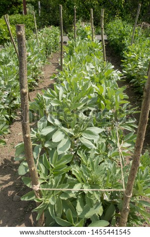 Crop of Home Grown Organic Broad Bean 'Aquadulce Claudia' Plants (Vicia faba) Growing on an Allotment in a Vegetable Garden in Rural Devon, England, UK