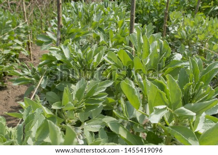 Crop of Home Grown Organic Broad Bean 'Witkiem Vroma' Plants (Vicia faba) Growing on an Allotment in a Vegetable Garden in Rural Devon, England, UK