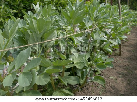 Crop of Home Grown Organic Broad Beans 'Witkiem Manita' Plants (Vicia faba) Growing on an Allotment in a Vegetable Garden in Rural Devon, England, UK