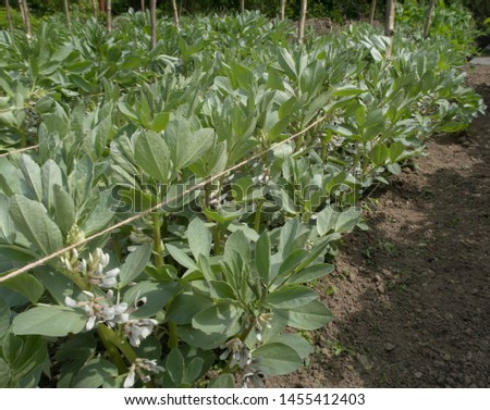 Crop of Home Grown Organic Pink Seeded Broad Beans (Vicia faba) Growing on an Allotment in a Vegetable Garden in Rural Devon, England, UK