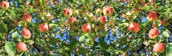 crop of red ripe apples on an apple-tree in garden. harvesting fruits apples in  orchard, panorama. panoramic view.