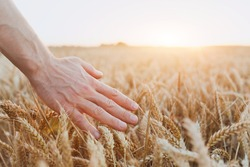 crop of wheat, close up of hand, healthy life and wellness background