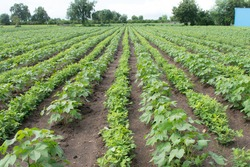 Crop rotation and Companion Planting in agriculture. Groundnuts intercropping in Cotton field. groundnut is legume crop helpful for nitrogen fixation.
