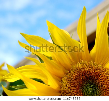 Cropped bright yellow sunflower against a blue sky
